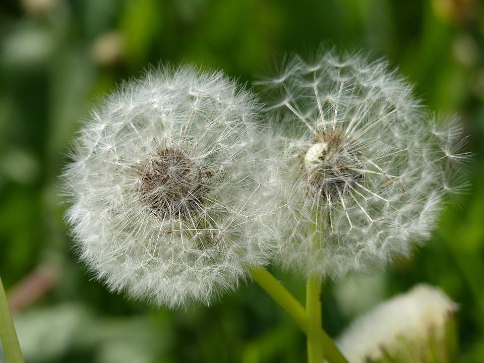 Dandelion, Flourished From, Close, Harbinger Of Spring