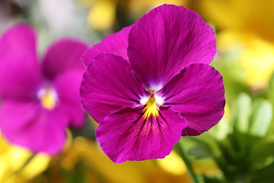 Pansy, 400–500, Blossom, Bloom, Flower, Spring