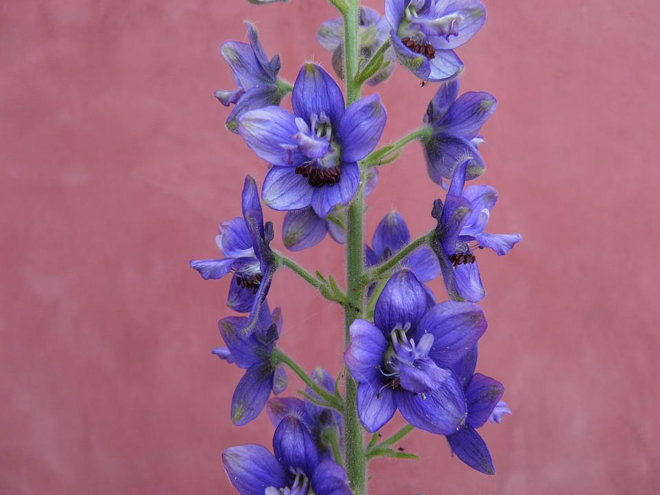 Delphinium, Aconite, Blue, Flower