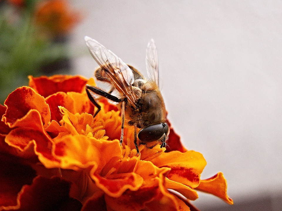 Pestřenka, Flower, Afrikan, Macro, Insect, Afrikaner