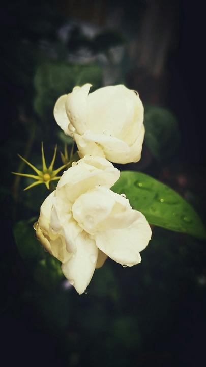 Flower Jasmine After Rain Rain Drops
