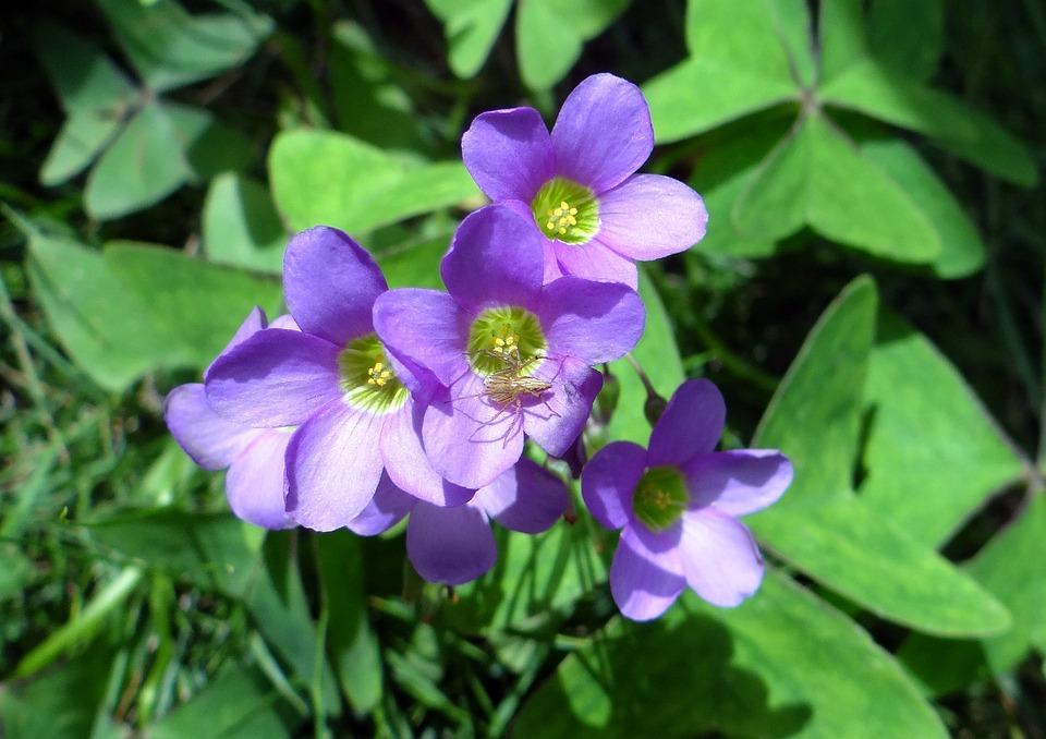 Creeping Wood Sorrel, Flower, Creeping Oxalis, Amrul