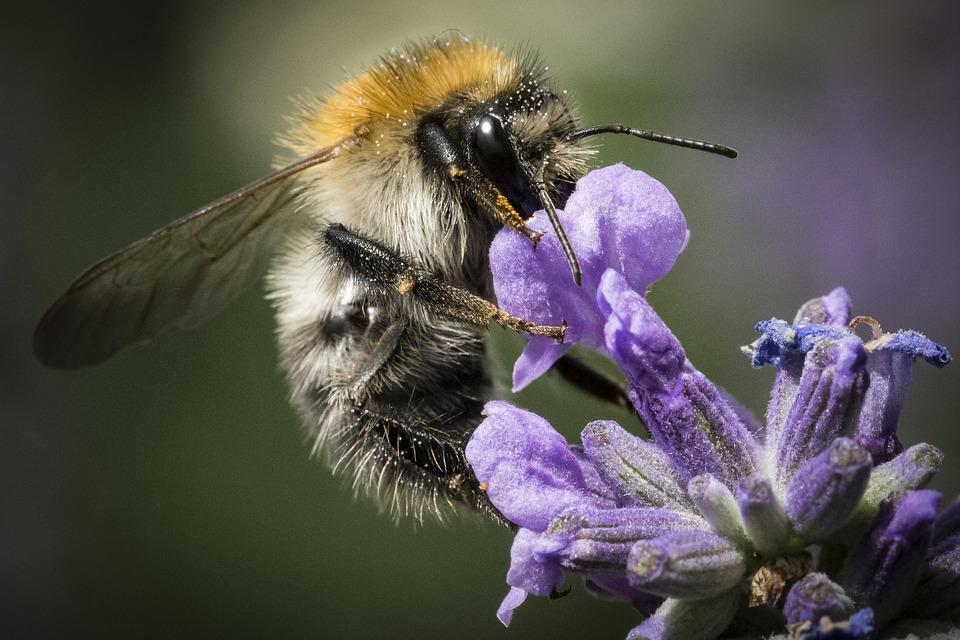 Bee, Nature, Insect, Pollination, Flower, Animal