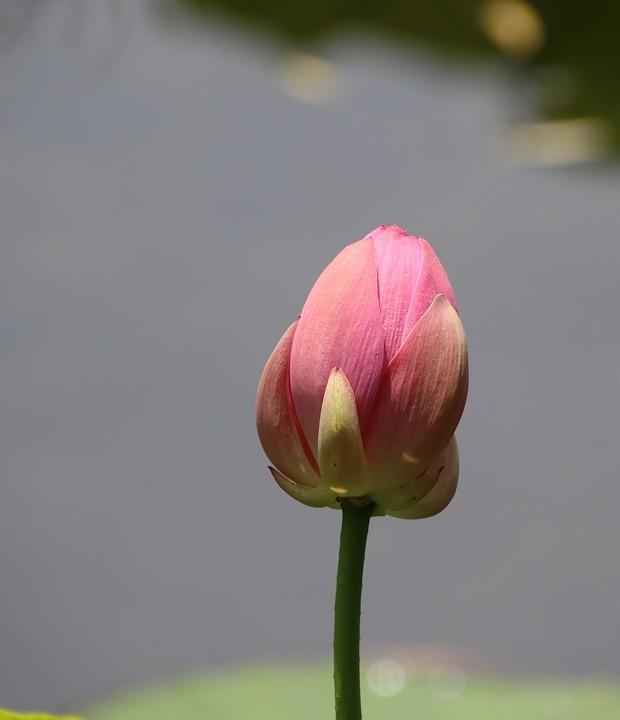 Flower, Lotus, Bud, Petals, Aquatic Plant, Pink Flower