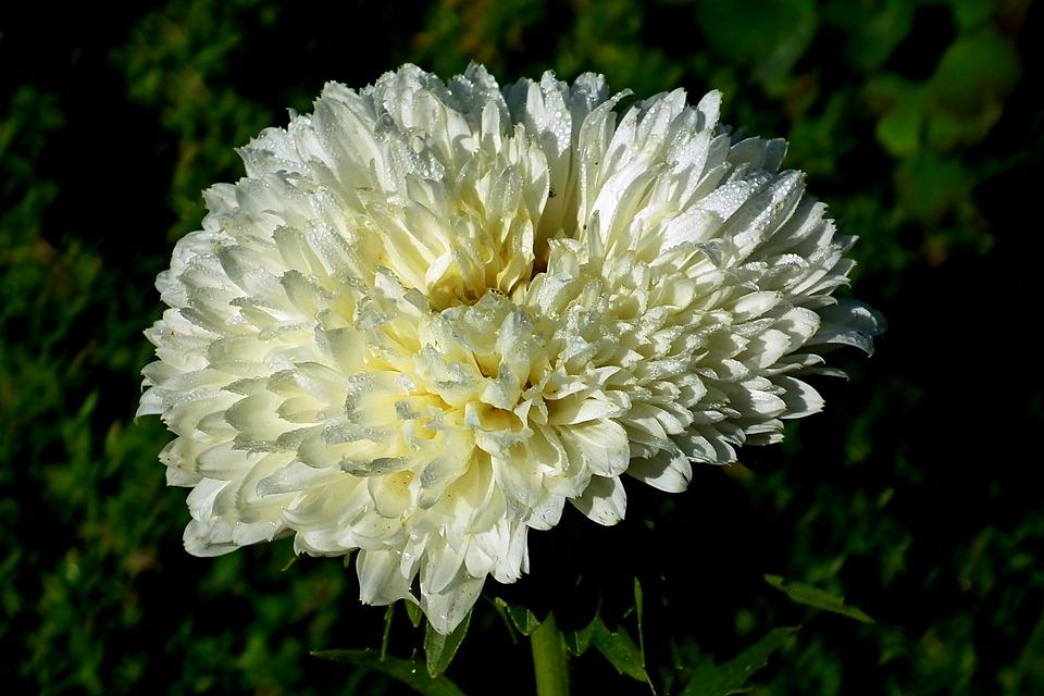 Aster, Flower, Garden, Macro, Summer, Nature