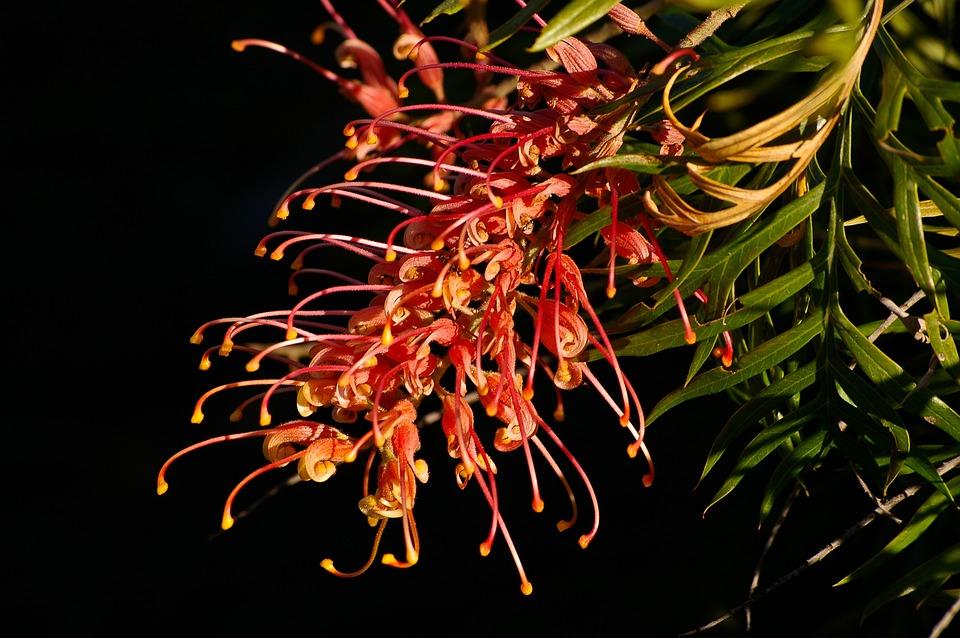 Grevillea, Flower, Australian, Native, Red, Orange