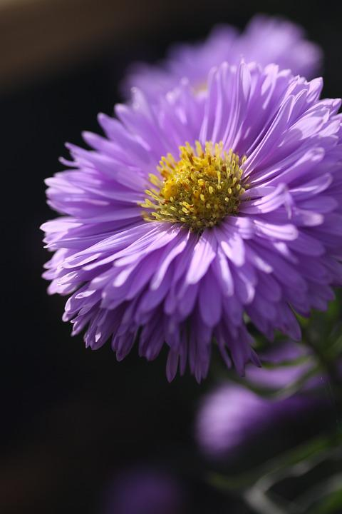 free photo flower autumn petal garden aster bloom purple  max pixel, Natural flower