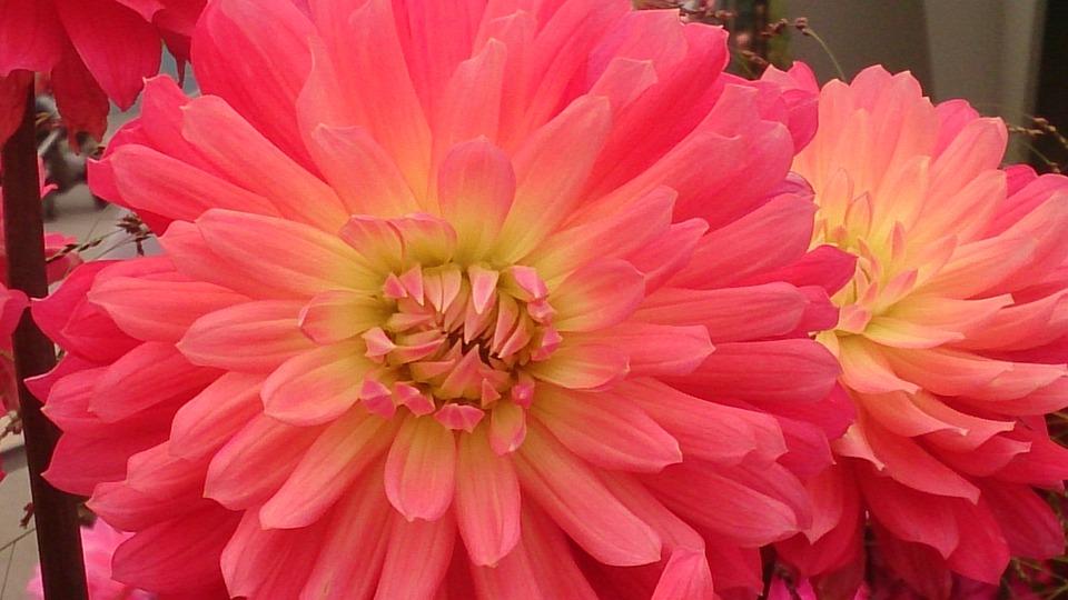 Dahlia, Autumn, Flower, Pink, Flower Autumn, Nature
