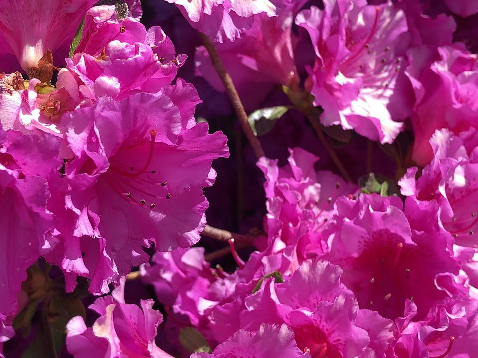 Azalia, Flower, Pink, Bloom