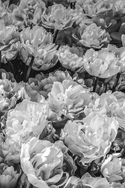 Free Photo Flower Background Flowers Peonies Black And White Max Pixel