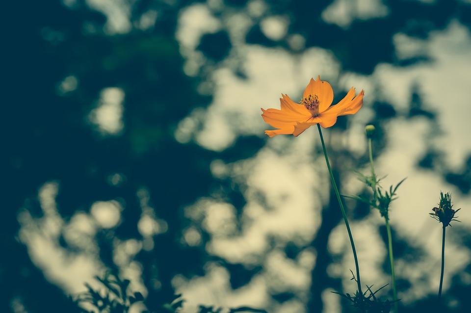 Cosmea, Vintage, Flower, Background, Floral, Beautiful
