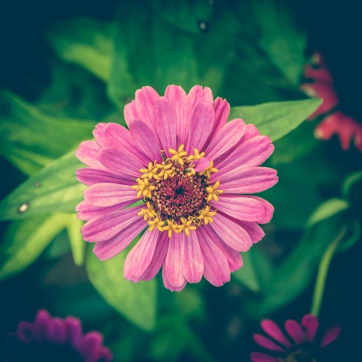 Zinnia, Vintage, Flower, Background, Floral, Pink