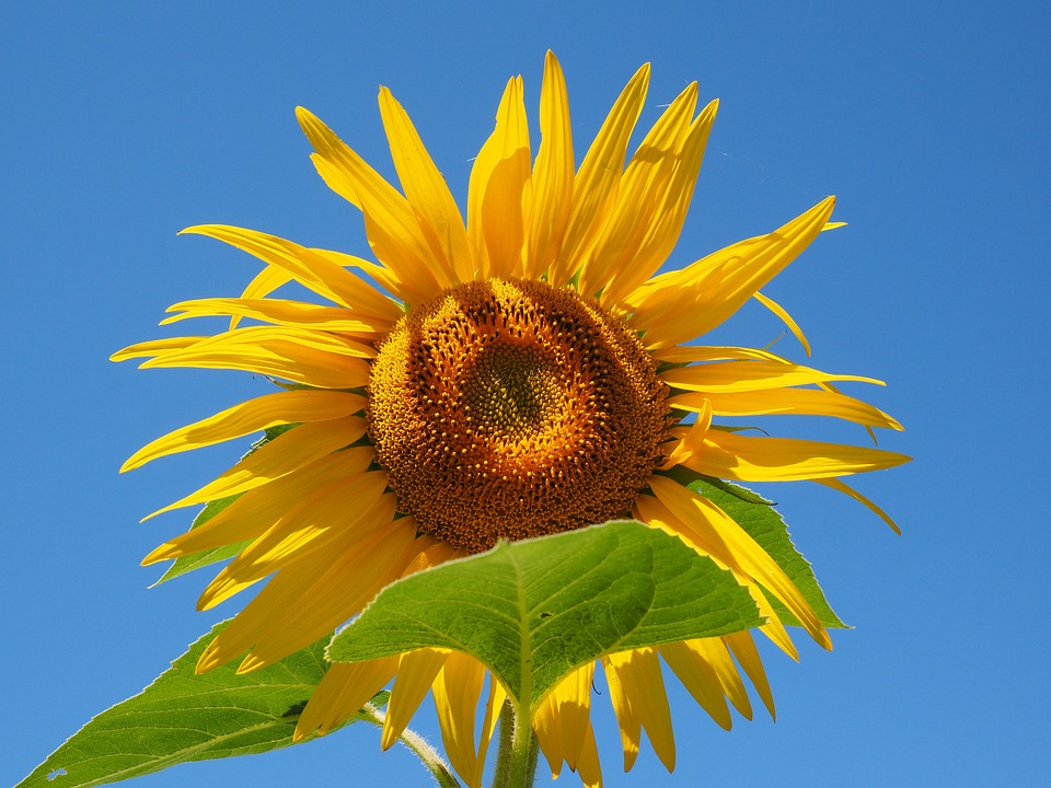 Sun Flower, Inflorescence, Flower Basket, Tongue Flower