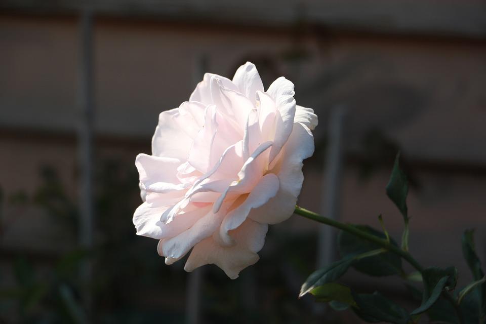 Flower, Nature, Plant, Beautiful, Petal, Rose, Light
