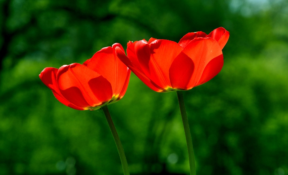 Spring, Tulip, Flower, Nature, Beauty