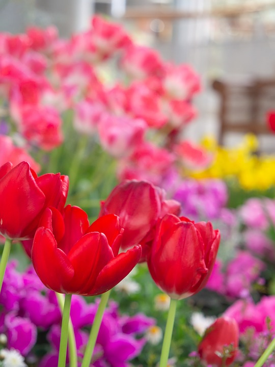 Flowers, Garden, Flower Bed, Tulip, Red, Natural, Plant