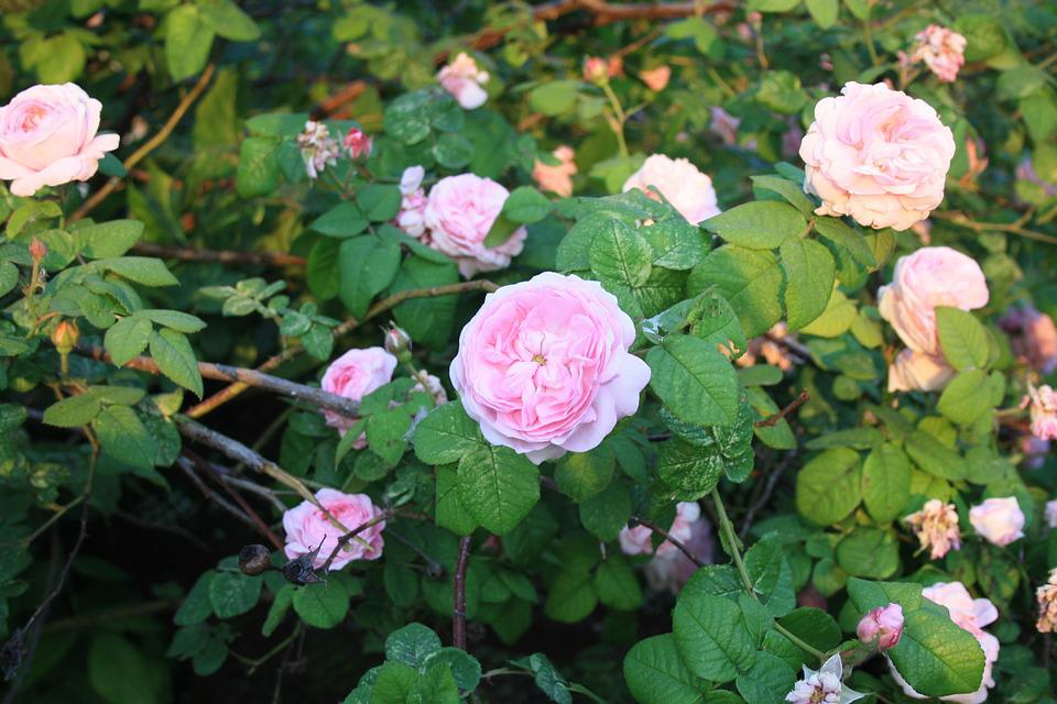 Free photo flower bed roses pale pink flowers petals garden max pixel roses flowers flower bed garden pale pink petals mightylinksfo