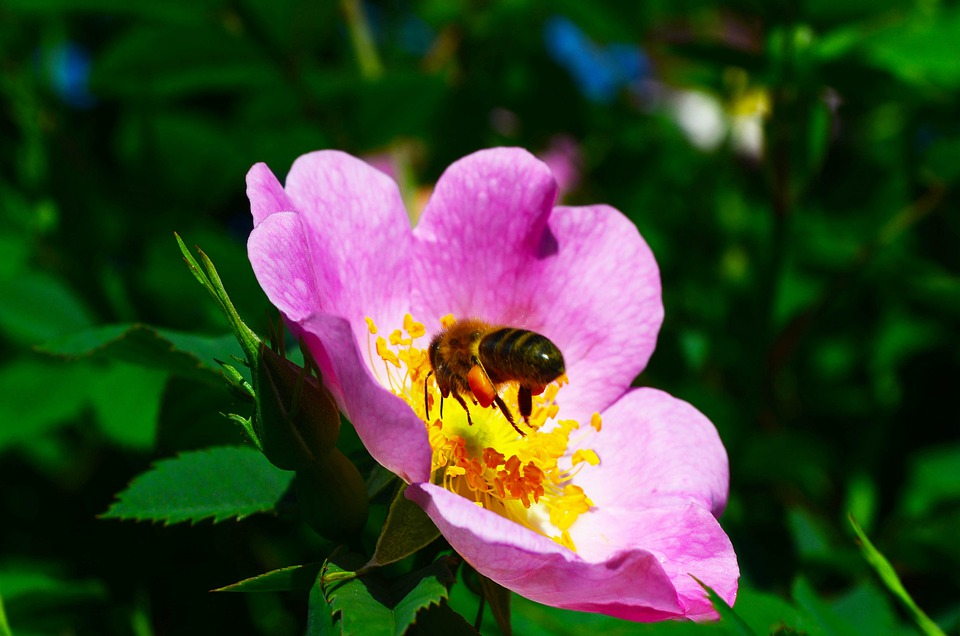 Bee, Flower, Rose Hip, Flight