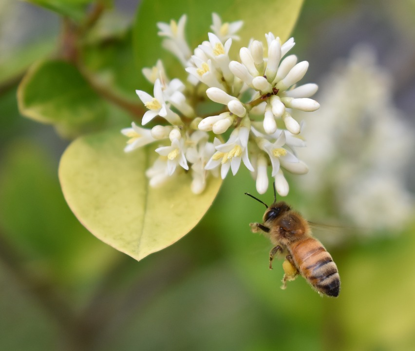 Honey Bee, Bee, Pollen, Flower