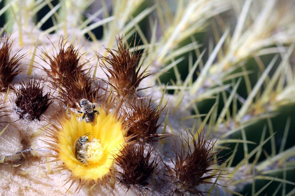 Cactus, Bee, Desert, Bloom, Flower, Yellow, Spring