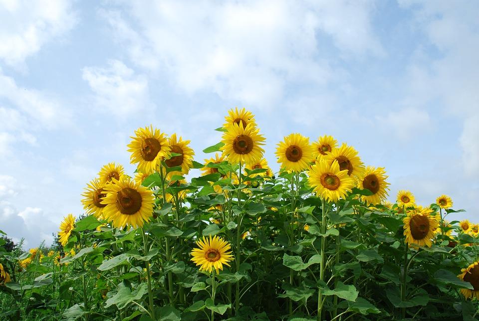 Flower, Plant, Sun Flower, Bees, Summer, Late Summer