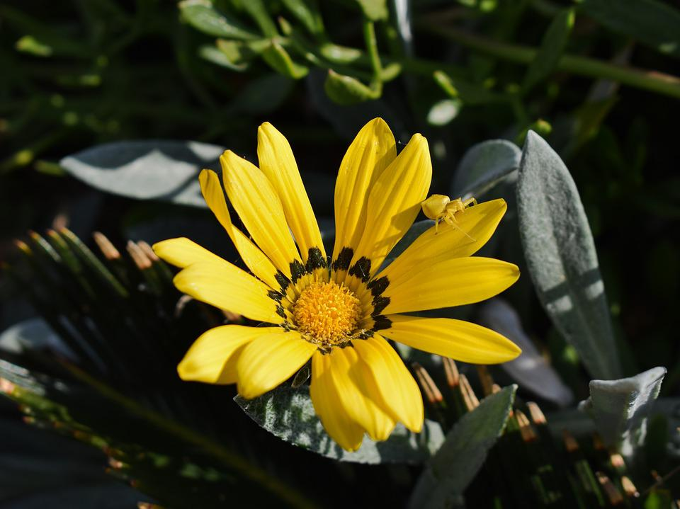 Gazania, Beetle, Yellow, Insect, Adaptation, Flower