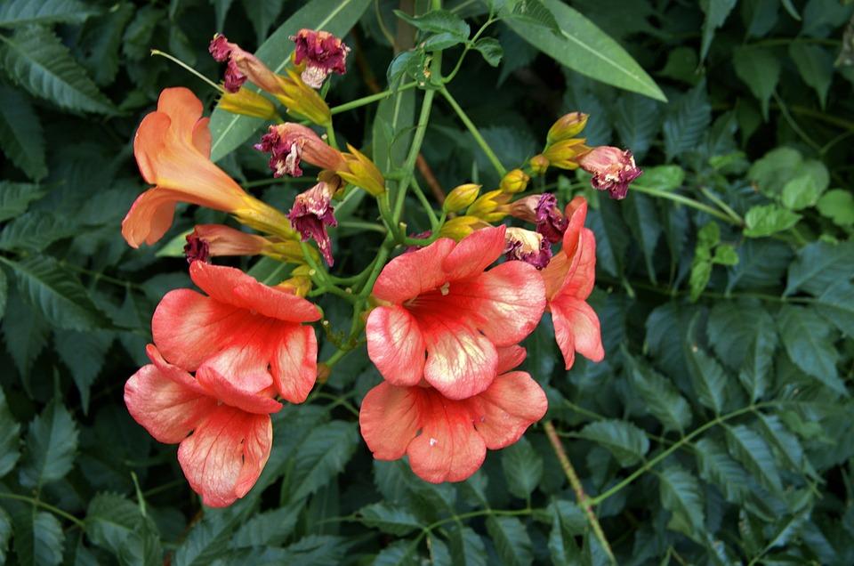 Flower, Bignone, Campsis, Bignonacée, Liana, Climbing