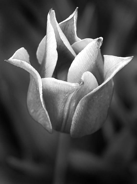 Tulip, Plant, Flower, Black And White
