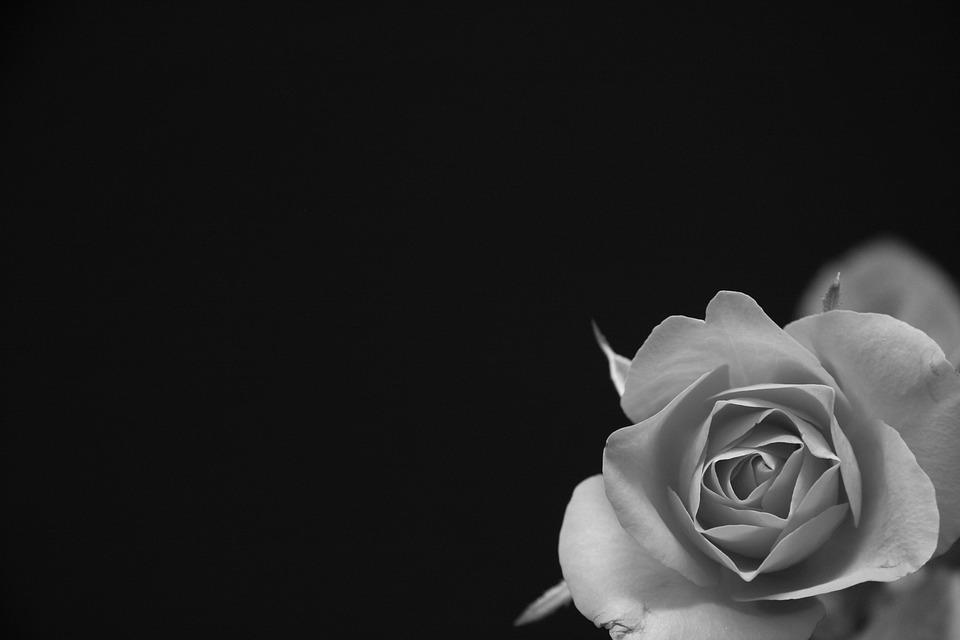 Rose, Flower, Black, Grey, Black And White, Blossom