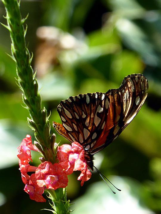 Butterfly, Black, Orange, Flower