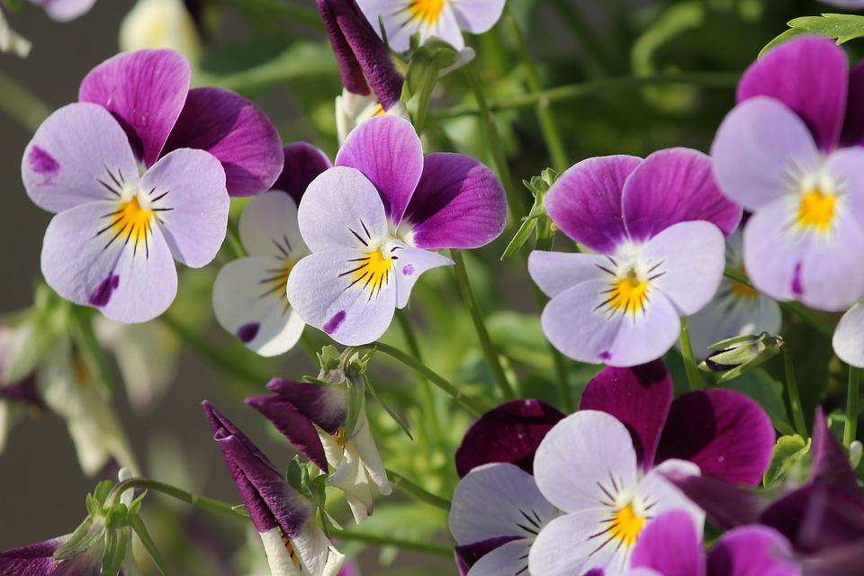 Pansy, 400–500, Blossom, Bloom, Flower, Spring