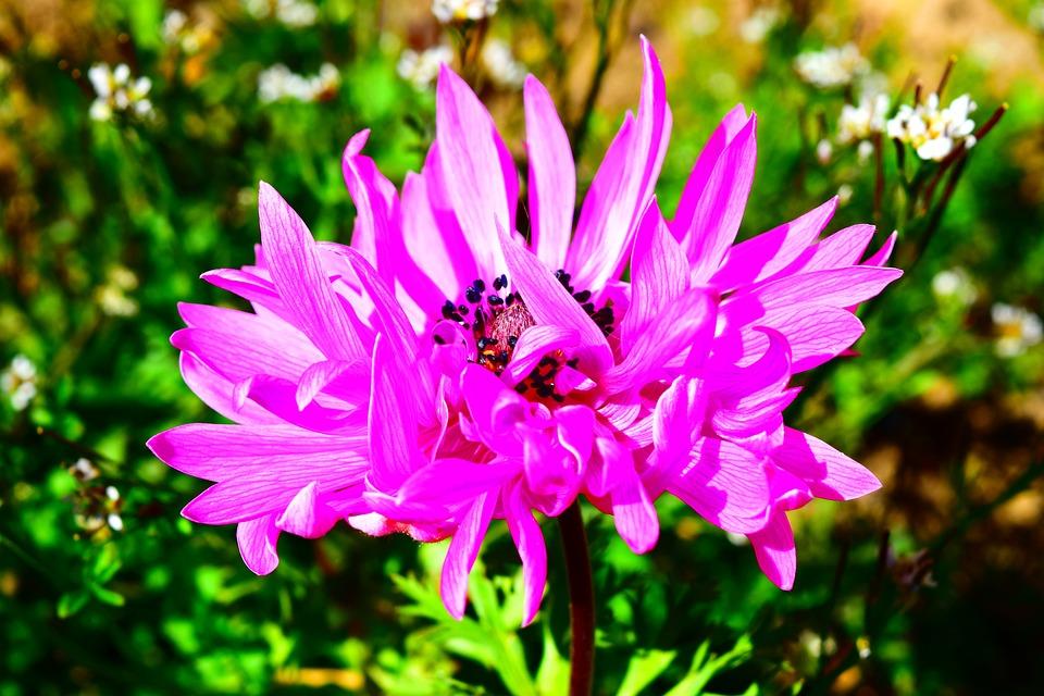 Anemone, Pink, Blossom, Bloom, Flower