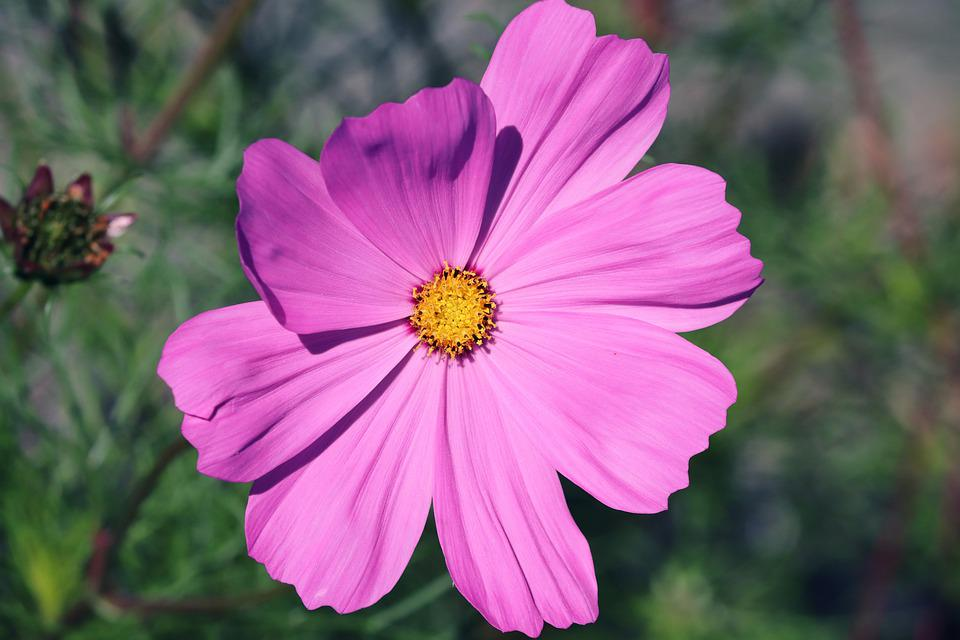 Cosmos, Flower, Blossom, Bloom, Pink Flower