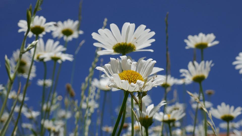 Marguerite, Flower, Plant, Blossom, Bloom, Flora