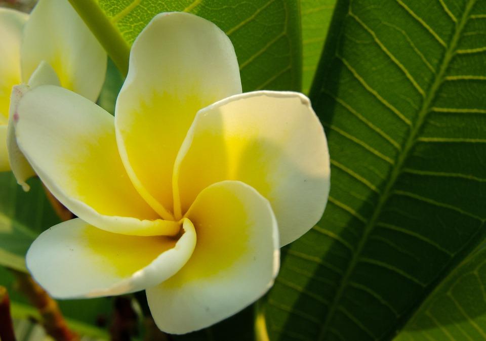 Blossom, Bloom, Flower, White Yellow, Frangipani