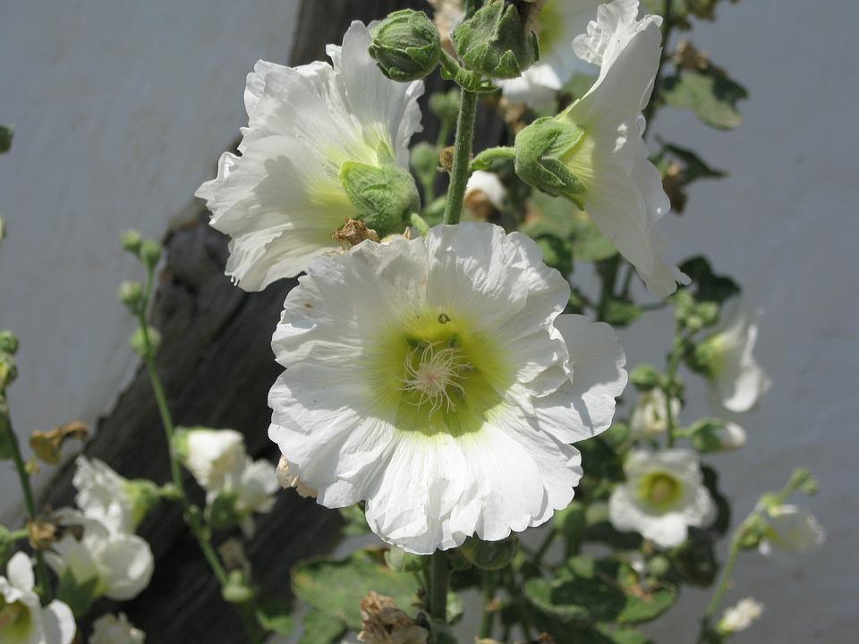 Hollyhock, Flower, Blossom, Bloom