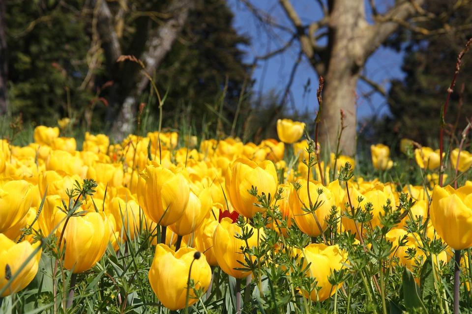 Spring, Blossom, Bloom, Tulips, Flower, Petals, Botany