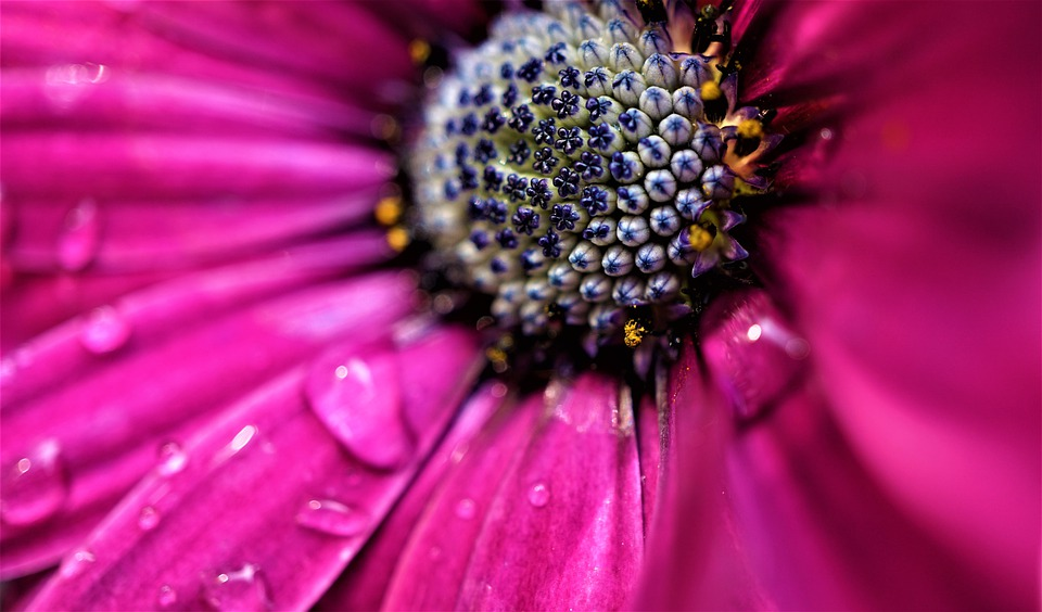 Marguerite, Pink, Flower, Blossom, Bloom, Bloom, Nature