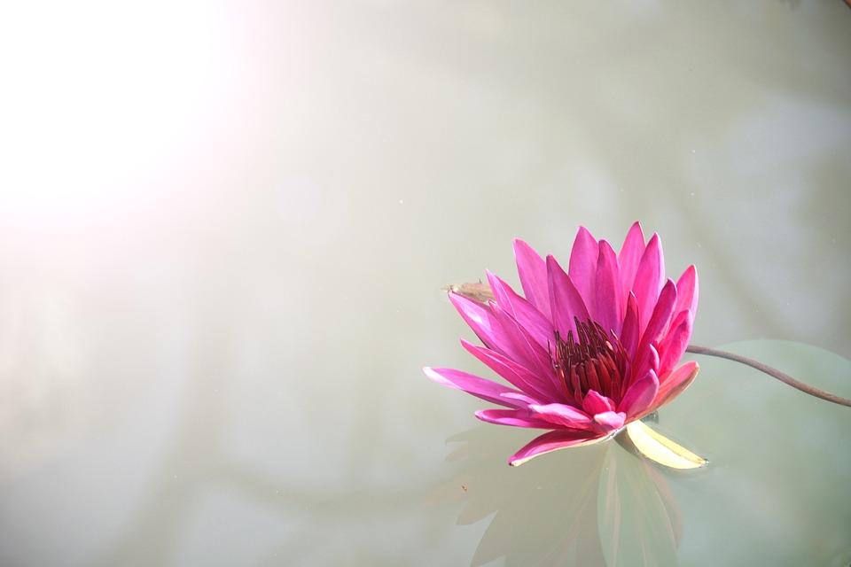 Lotus, Flower, Pink, Bloom, Blossom, Pink Flower