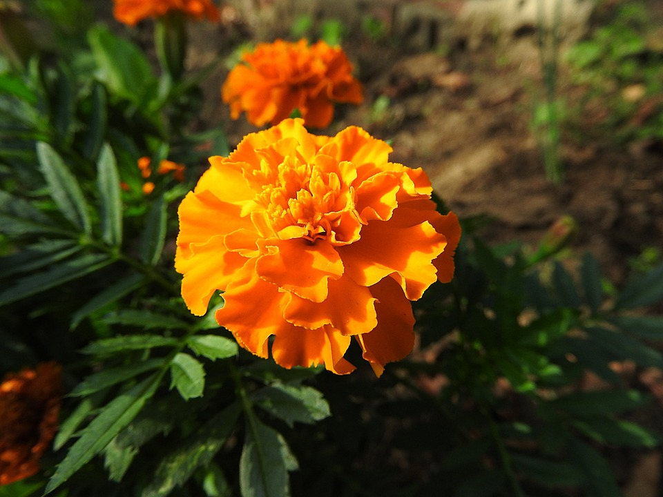Flower, Tagetes Patula, Blossom, Bloom, Close
