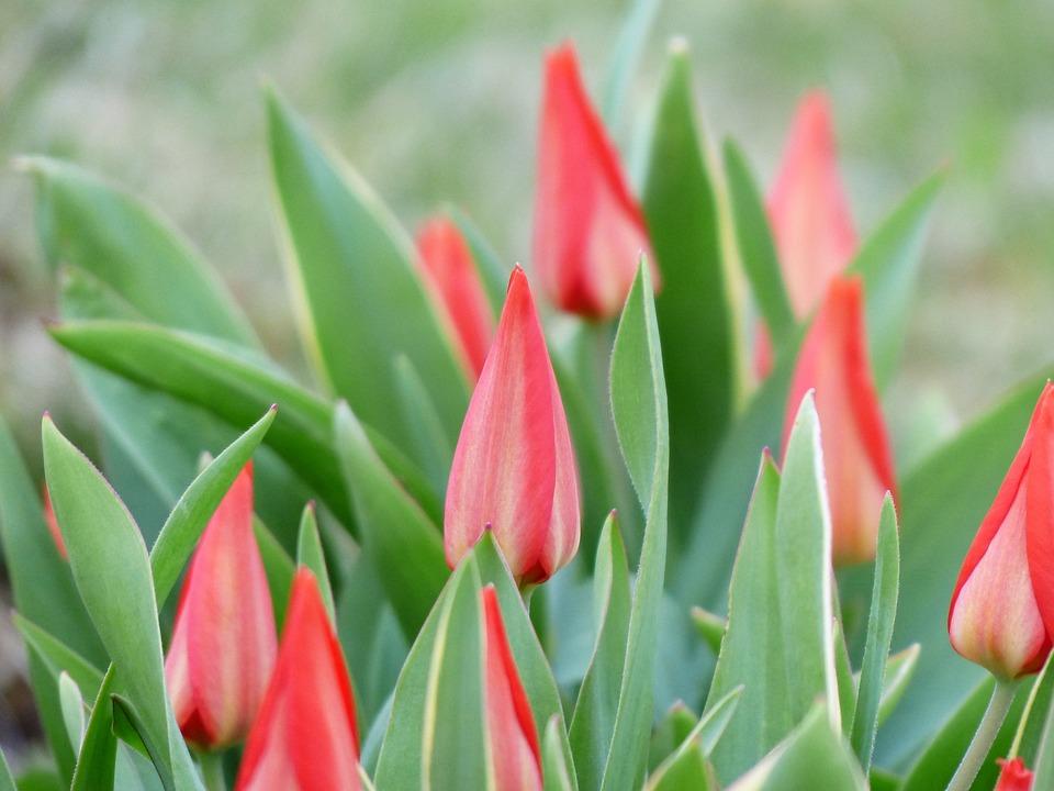 Tulips, Black Tulips, Closed, Flower, Blossom, Bloom