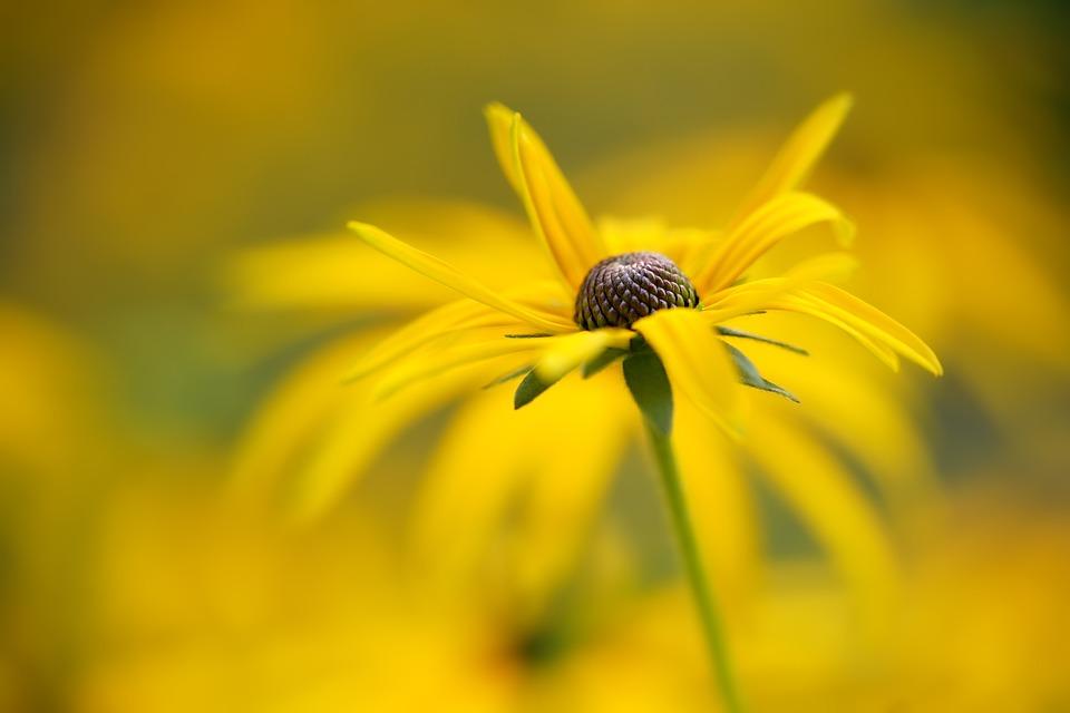Flower, Coneflower, Bloom, Blossom, Nature, Petals