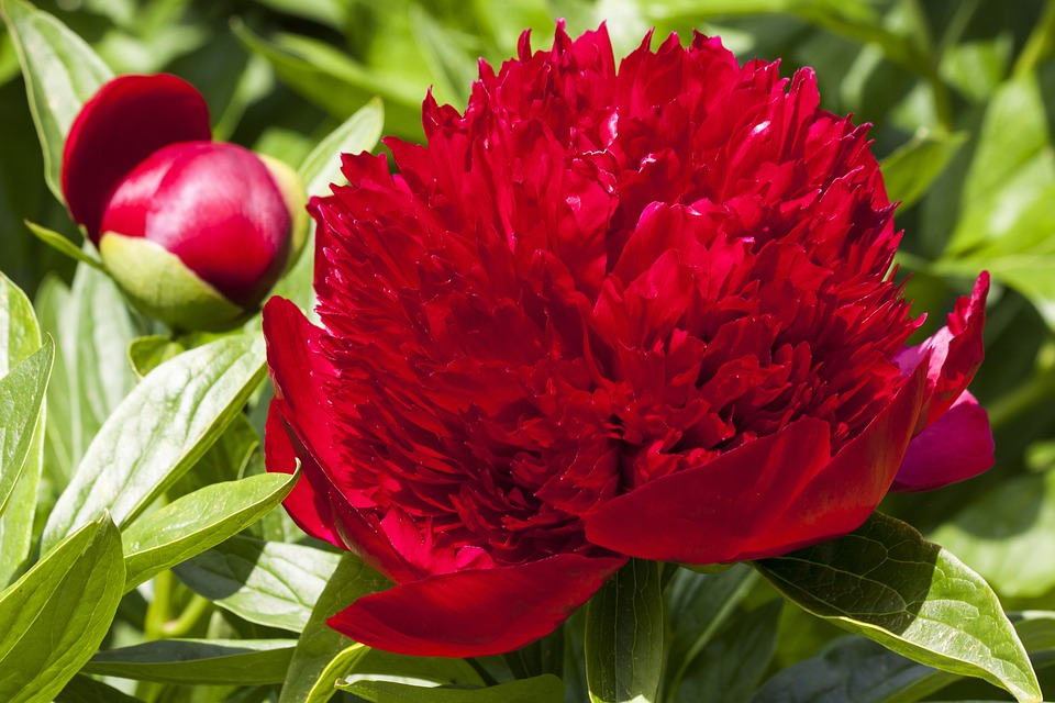 Peony, Flower, Nature, Flora, Spring, Blossom, Bloom