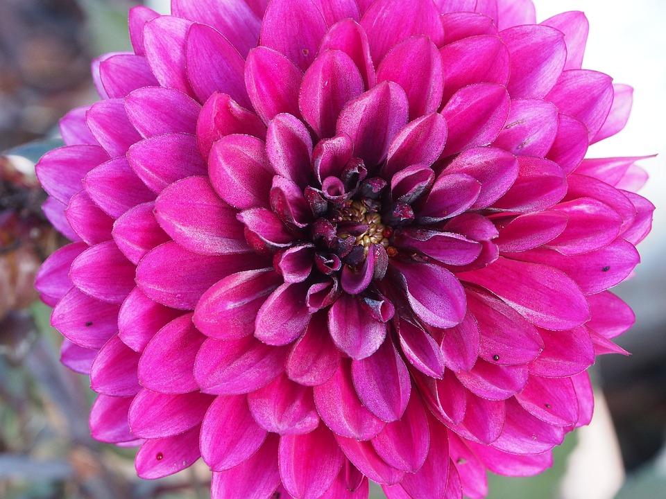 Mallow, Pink, Garden, Bloom, Flower