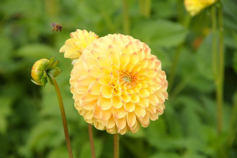 Flower, Blossom, Bloom, Dahlia, Garden Plant