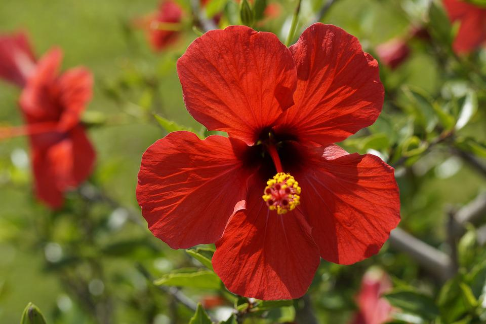 Hibiscus, Red, Blossom, Bloom, Flower, Mallow