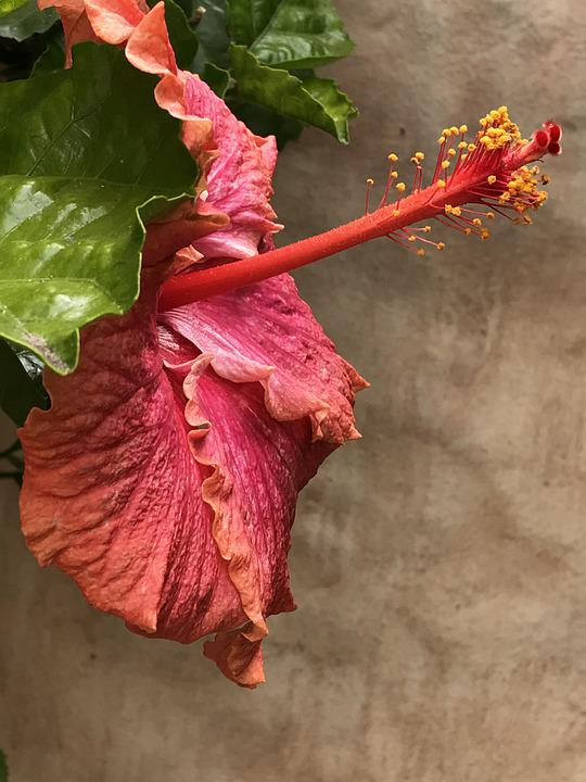 Flower, Nature, Hibiscus, Pink, Bloom, Plant