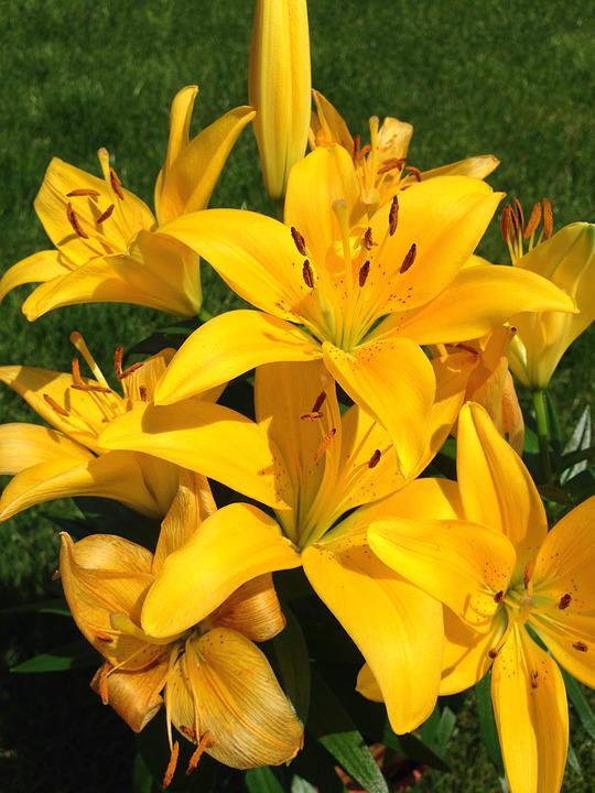 Yellow, Lilium, Flower, Spring, Lilly, Flora, Bloom