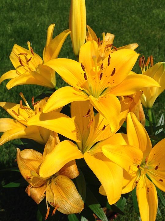 Yellow, Lilium, Flower, Spring, Lilly, Flora, Bloom
