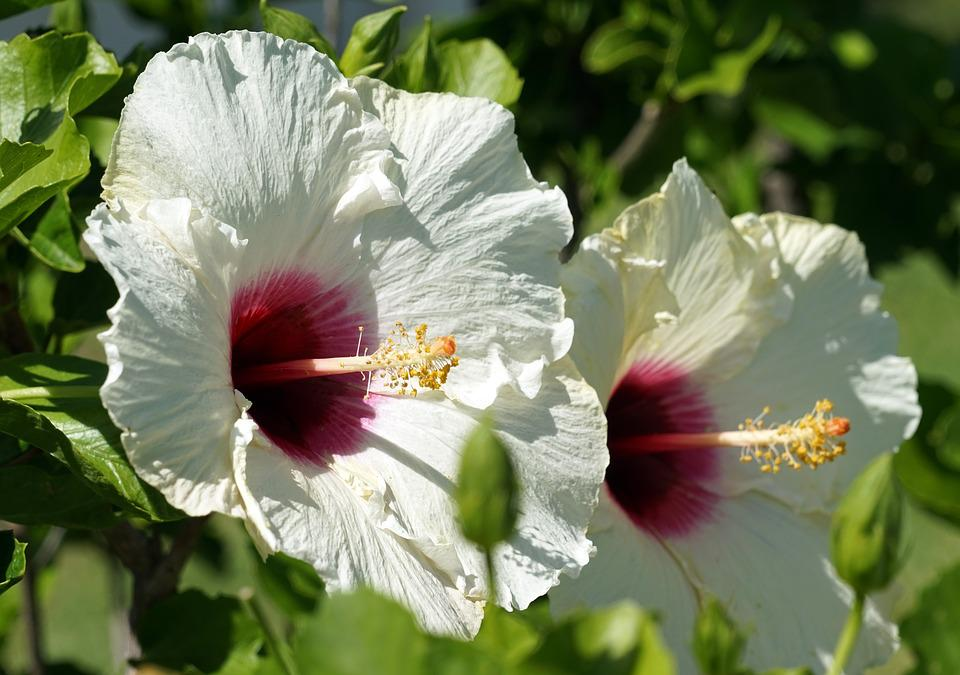 Free photo flower bloom mallow close hibiscus blossom white max pixel hibiscus blossom bloom white flower mallow close mightylinksfo
